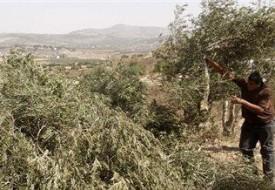 مستوطنون يقطعون (60) شجرة زيتون جنوب نابلس